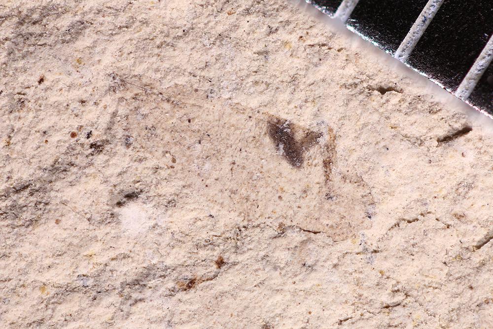 http://mczbase.mcz.harvard.edu/specimen_images/entomology/paleo/large/PALE-31273_Psocoptera.jpg
