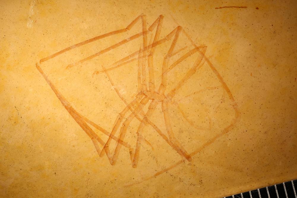 http://mczbase.mcz.harvard.edu/specimen_images/entomology/paleo/large/PALE-31324_Arthropoda.jpg