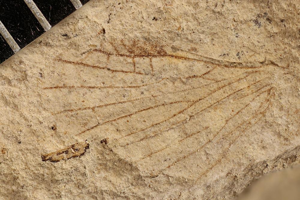 http://mczbase.mcz.harvard.edu/specimen_images/entomology/paleo/large/PALE-31345a_Lemmatophora_sp.jpg