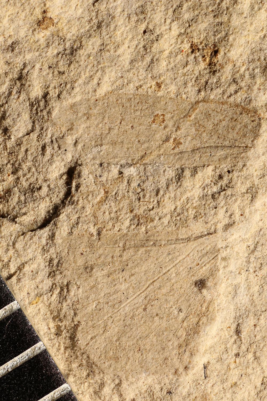 http://mczbase.mcz.harvard.edu/specimen_images/entomology/paleo/large/PALE-31358_Grylloblattodea_2.jpg