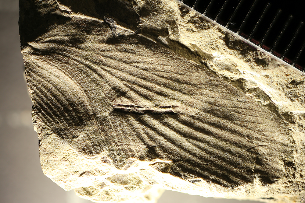 http://mczbase.mcz.harvard.edu/specimen_images/entomology/paleo/large/PALE-31369_Blattaria.jpg