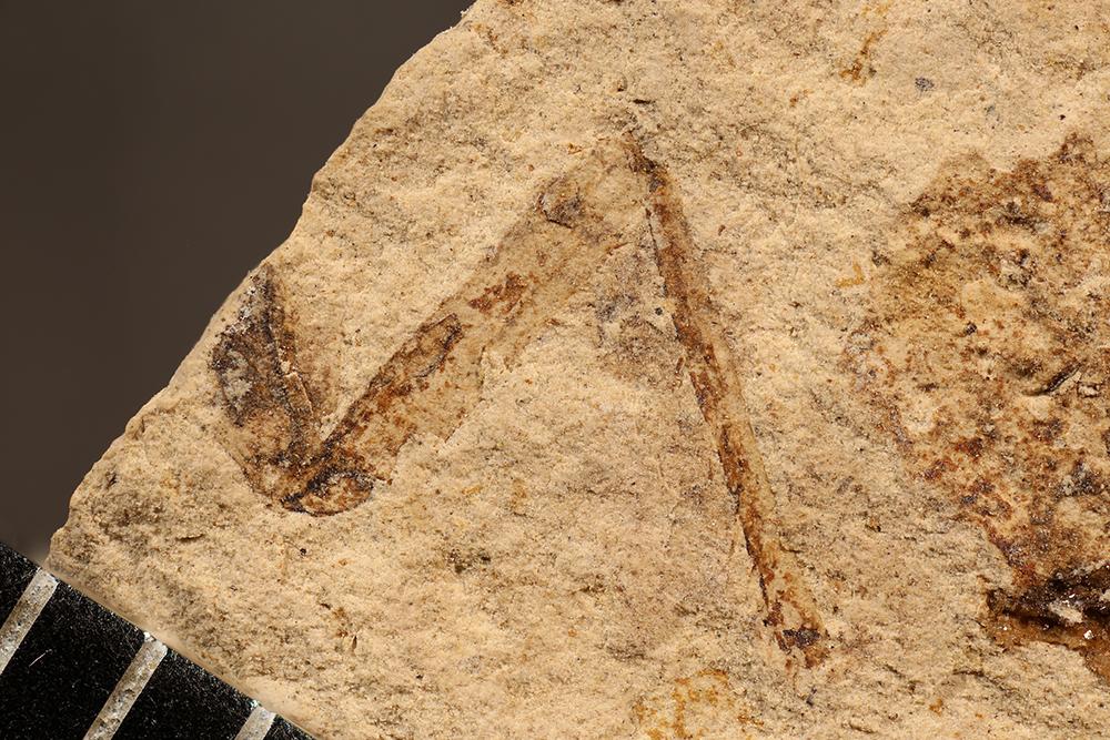 http://mczbase.mcz.harvard.edu/specimen_images/entomology/paleo/large/PALE-31454_Pterygota_det_leg.jpg