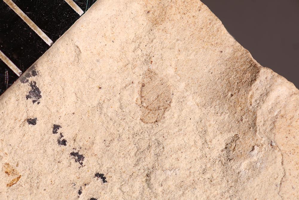 http://mczbase.mcz.harvard.edu/specimen_images/entomology/paleo/large/PALE-31495a_Psocoptera.jpg