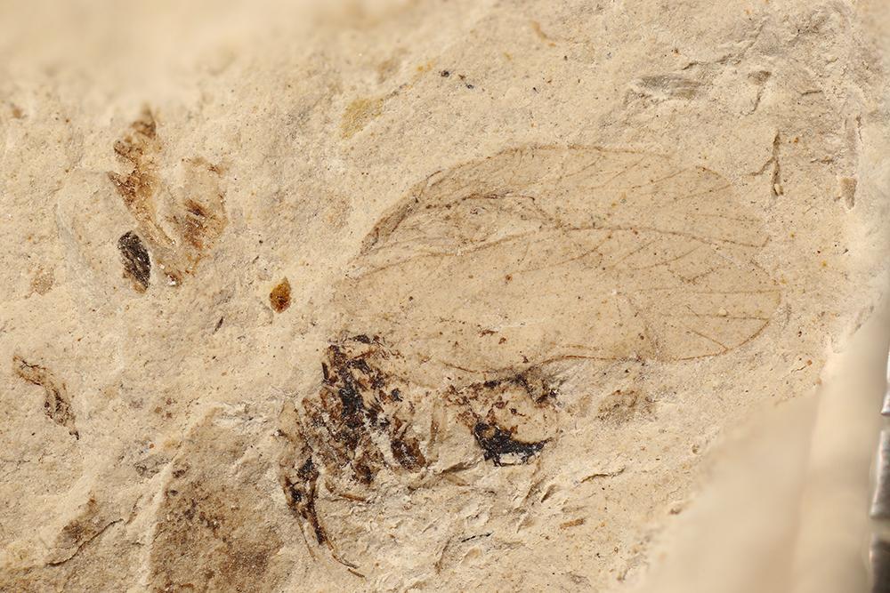 http://mczbase.mcz.harvard.edu/specimen_images/entomology/paleo/large/PALE-31526a_Dichentomum_sp.jpg