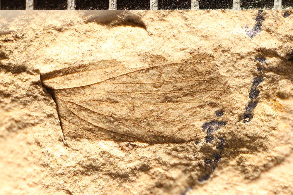 http://mczbase.mcz.harvard.edu/specimen_images/entomology/paleo/large/PALE-31544_Artinska_ovata.jpg