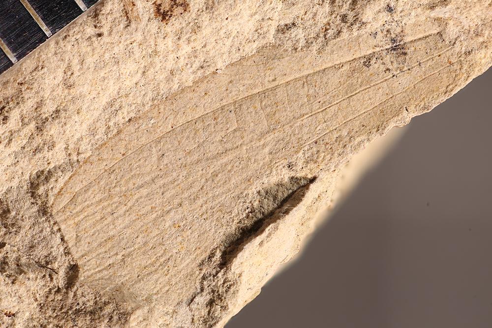 http://mczbase.mcz.harvard.edu/specimen_images/entomology/paleo/large/PALE-31614_Grylloblattodea.jpg
