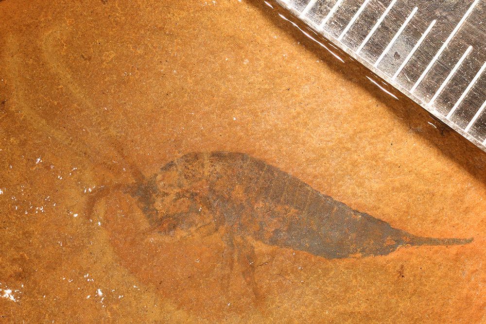 http://mczbase.mcz.harvard.edu/specimen_images/entomology/paleo/large/PALE-31700a_Archaeognatha_det_wet.jpg