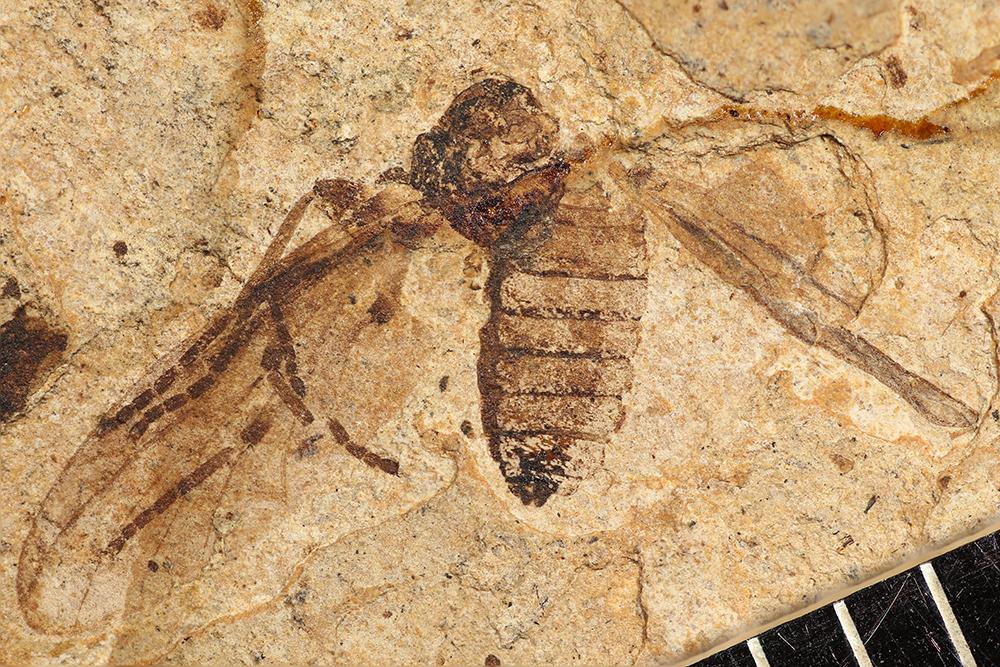 http://mczbase.mcz.harvard.edu/specimen_images/entomology/paleo/large/PALE-31715_Bibionidae.jpg