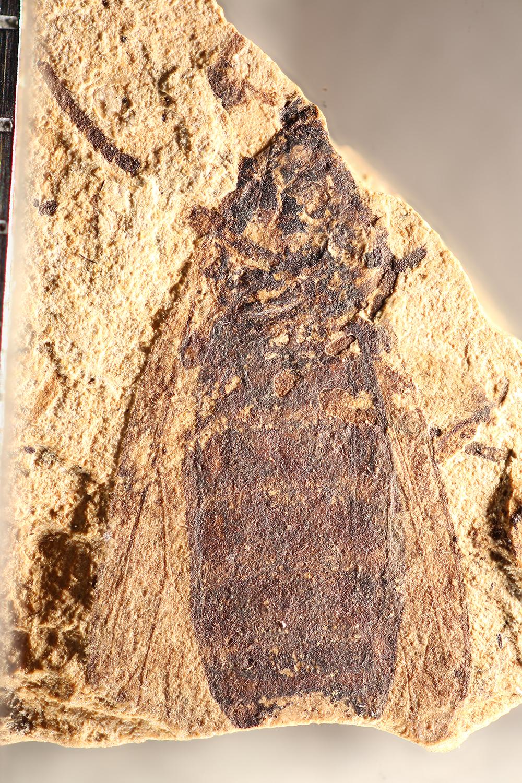 http://mczbase.mcz.harvard.edu/specimen_images/entomology/paleo/large/PALE-31716_Protomyia_luctuosa.jpg