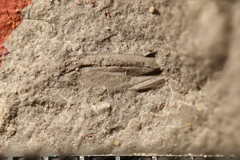 http://mczbase.mcz.harvard.edu/specimen_images/entomology/paleo/large/PALE-31761_Hemiptera_qm.jpg