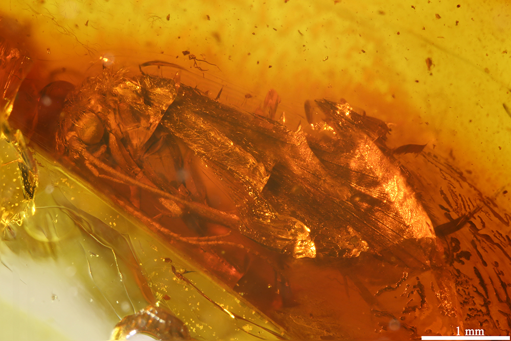 http://mczbase.mcz.harvard.edu/specimen_images/entomology/paleo/large/PALE-31799_Trichoptera.jpg