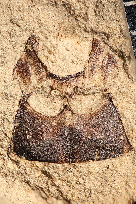 http://mczbase.mcz.harvard.edu/specimen_images/entomology/paleo/large/PALE-31812a_Arthropoda.jpg