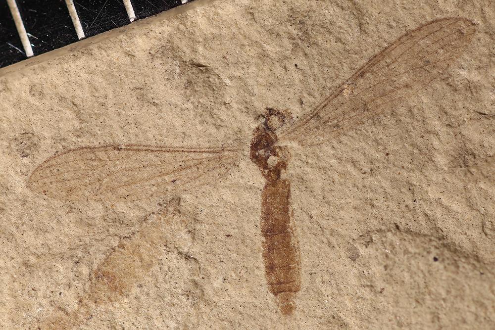 http://mczbase.mcz.harvard.edu/specimen_images/entomology/paleo/large/PALE-31813_Culicoidea.jpg