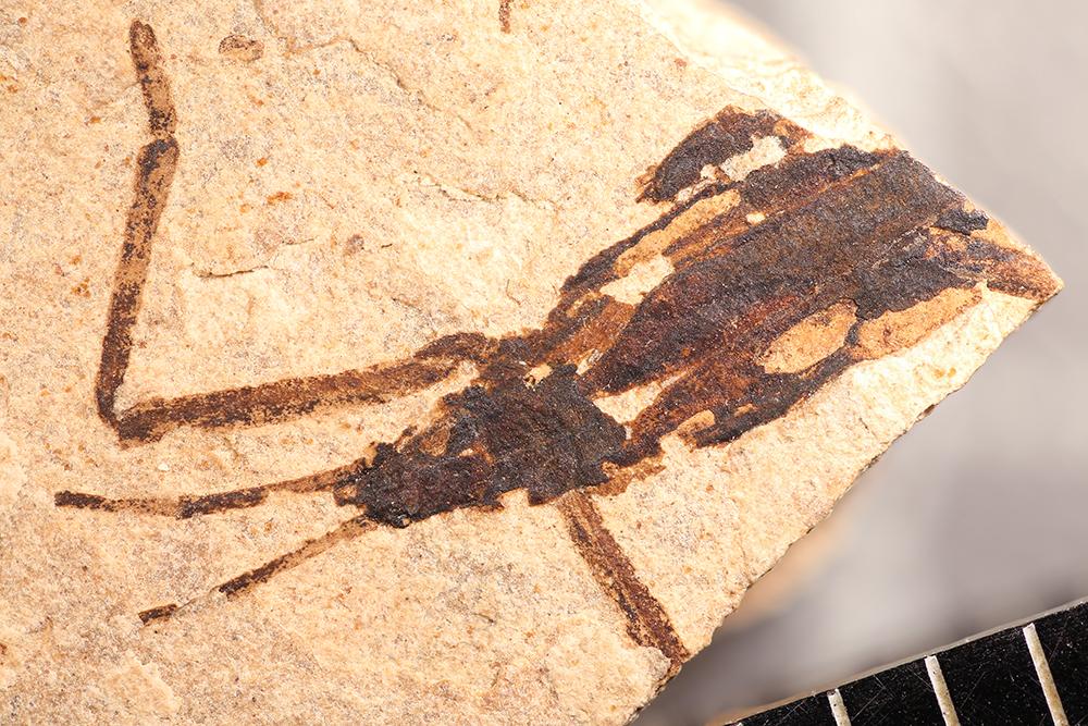 http://mczbase.mcz.harvard.edu/specimen_images/entomology/paleo/large/PALE-31816_Gerridae.jpg