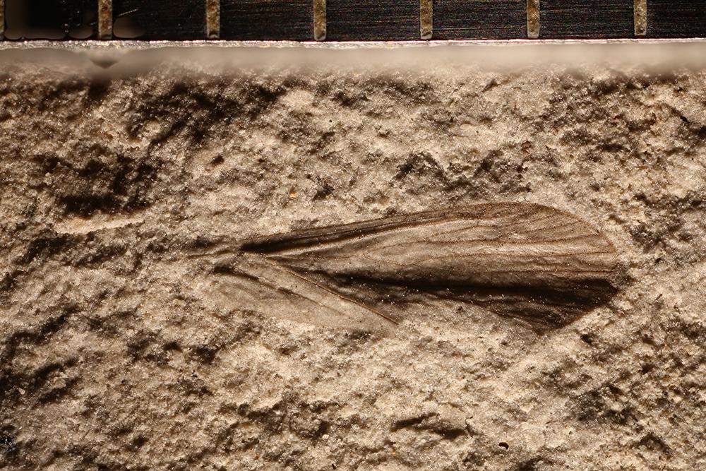 http://mczbase.mcz.harvard.edu/specimen_images/entomology/paleo/large/PALE-31872a_Mecoptera.jpg