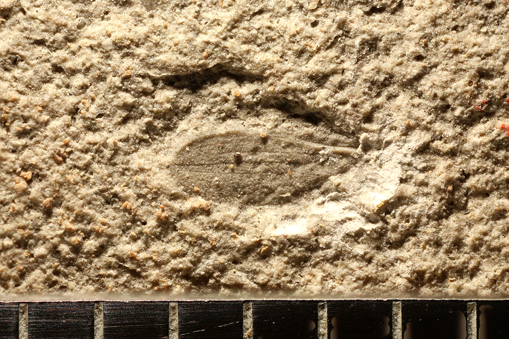http://mczbase.mcz.harvard.edu/specimen_images/entomology/paleo/large/PALE-31877_Apheloneura.jpg