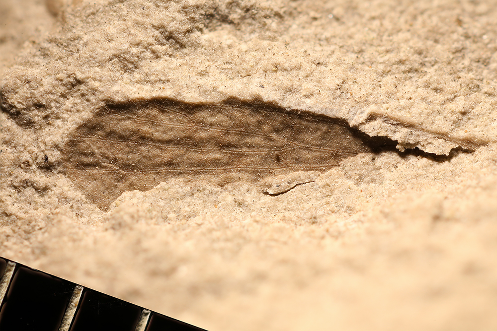 http://mczbase.mcz.harvard.edu/specimen_images/entomology/paleo/large/PALE-31945_Grylloblattodea.jpg