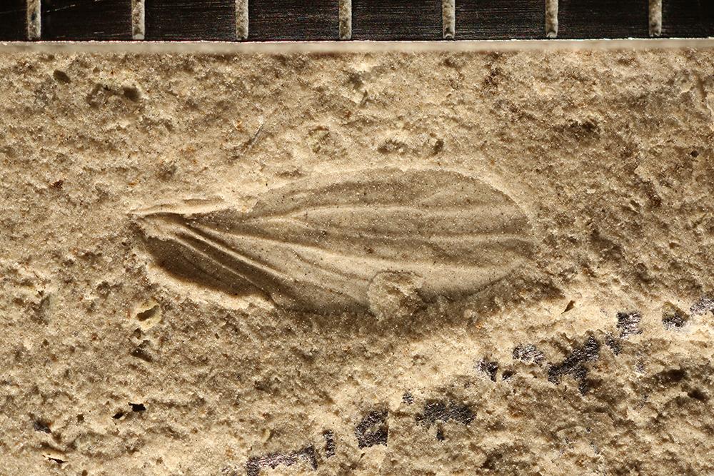 http://mczbase.mcz.harvard.edu/specimen_images/entomology/paleo/large/PALE-31988_Miomoptera.jpg