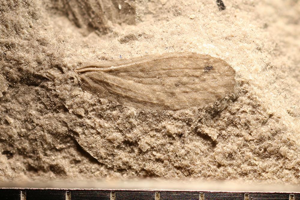 http://mczbase.mcz.harvard.edu/specimen_images/entomology/paleo/large/PALE-32061_Apheloneura_sp.jpg