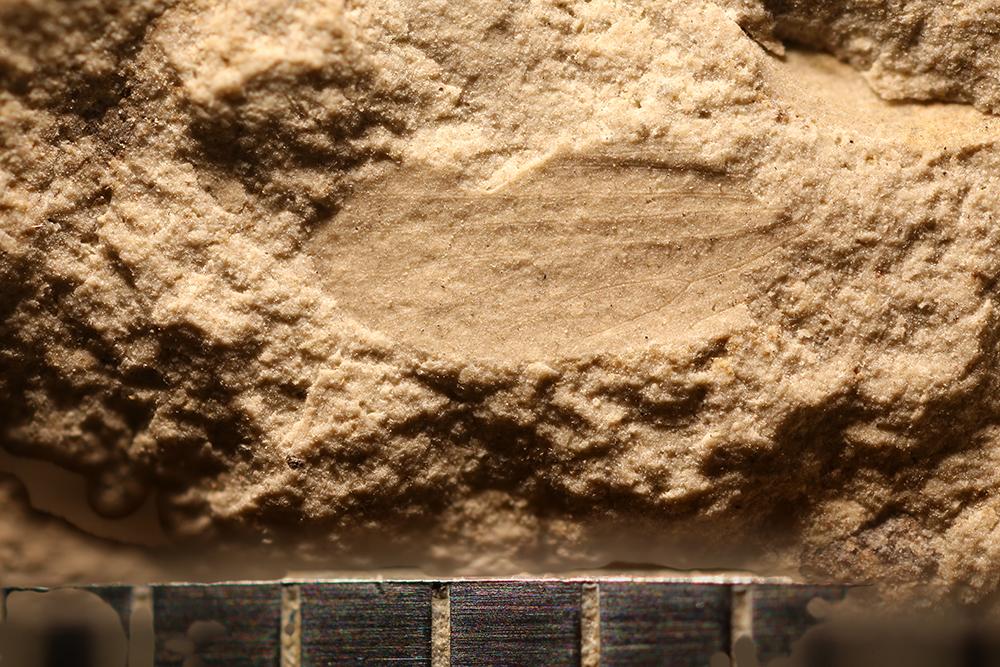 http://mczbase.mcz.harvard.edu/specimen_images/entomology/paleo/large/PALE-32062_Lemmatophoridae.jpg