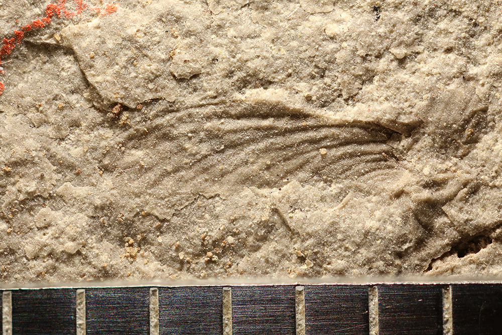 http://mczbase.mcz.harvard.edu/specimen_images/entomology/paleo/large/PALE-32119_Ephemeroptera.jpg