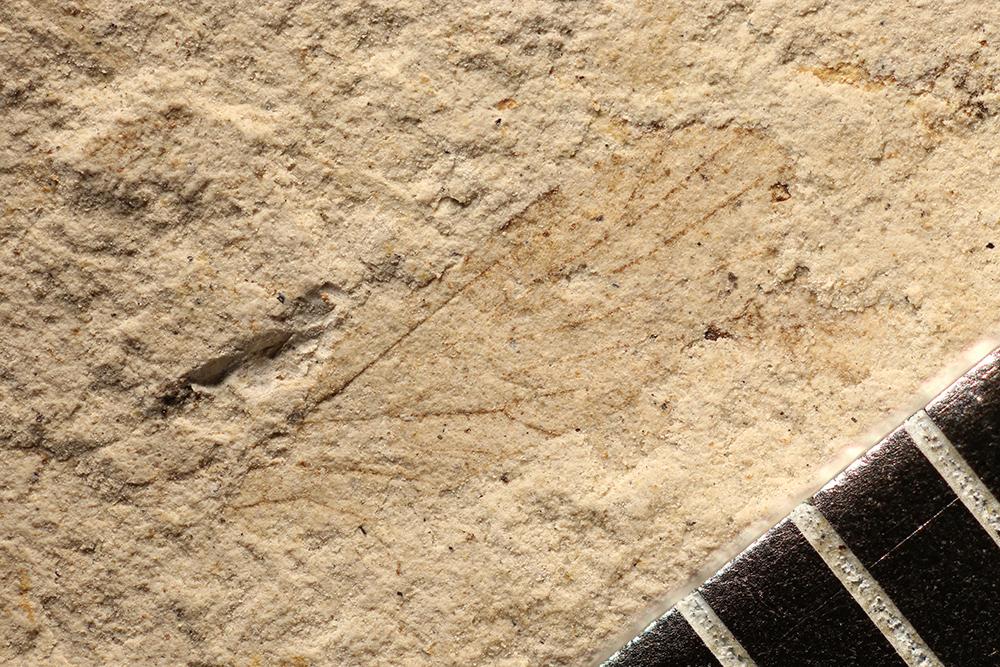 http://mczbase.mcz.harvard.edu/specimen_images/entomology/paleo/large/PALE-3211_Delopterum_elongatum.jpg