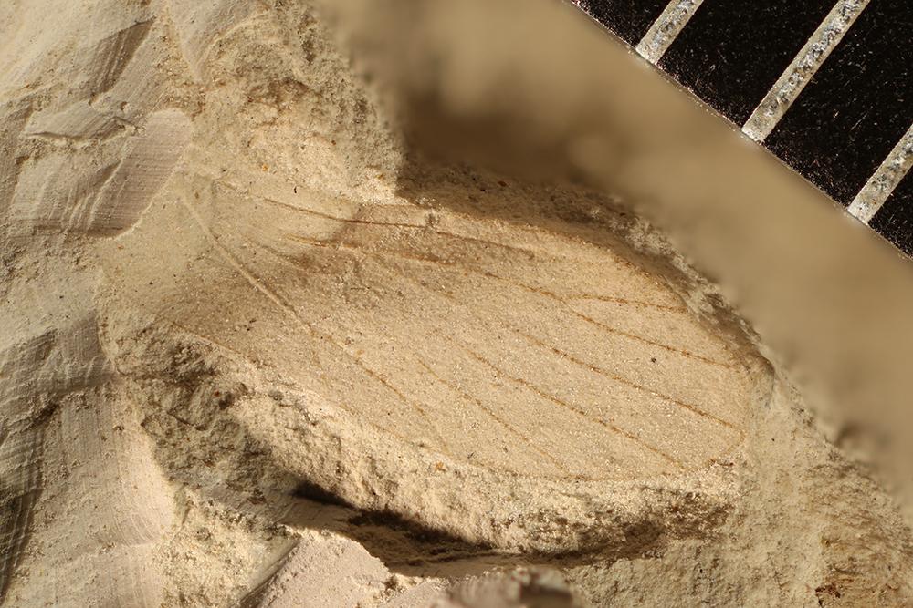 http://mczbase.mcz.harvard.edu/specimen_images/entomology/paleo/large/PALE-3212_Delopterum_elongatum.jpg