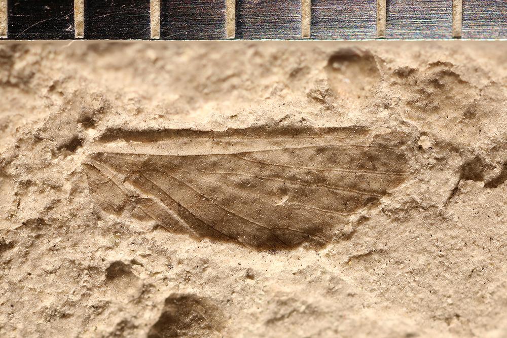 http://mczbase.mcz.harvard.edu/specimen_images/entomology/paleo/large/PALE-32161_Grylloblattodea.jpg