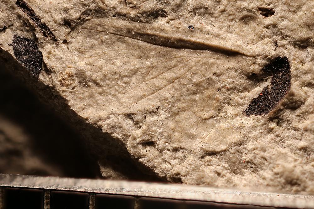 http://mczbase.mcz.harvard.edu/specimen_images/entomology/paleo/large/PALE-32317_Grylloblattodea.jpg