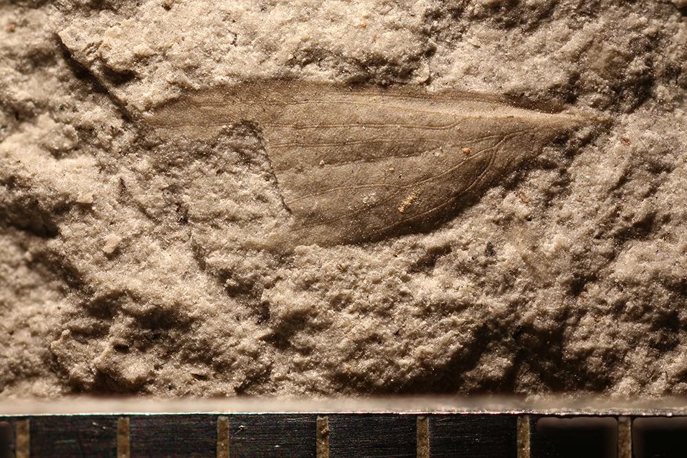 http://mczbase.mcz.harvard.edu/specimen_images/entomology/paleo/large/PALE-32392_Lemmatophoridae.jpg