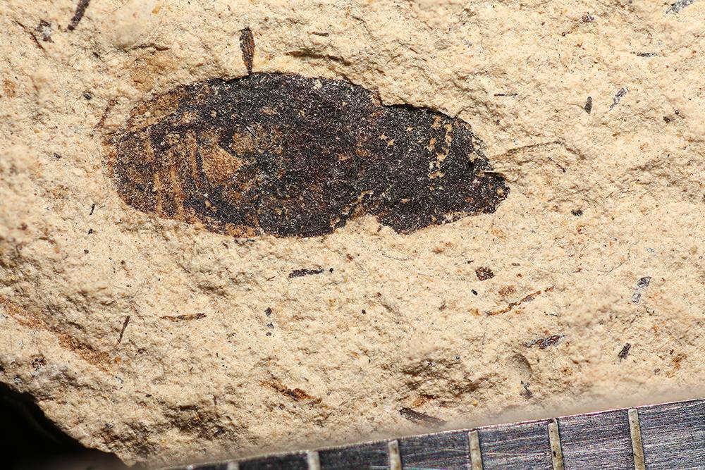 http://mczbase.mcz.harvard.edu/specimen_images/entomology/paleo/large/PALE-32448_Coleoptera.jpg