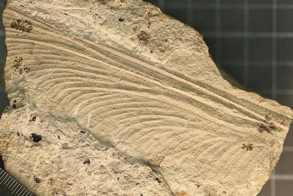 http://mczbase.mcz.harvard.edu/specimen_images/entomology/paleo/large/PALE-3253a_Typus_readi_holotype_1.jpg