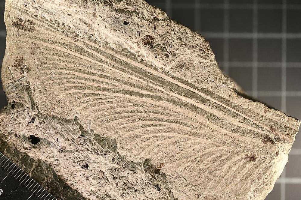 http://mczbase.mcz.harvard.edu/specimen_images/entomology/paleo/large/PALE-3253a_Typus_readi_holotype_2.jpg
