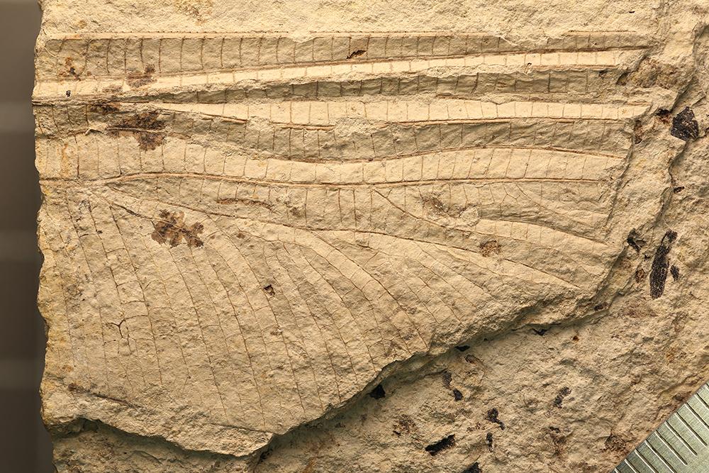 http://mczbase.mcz.harvard.edu/specimen_images/entomology/paleo/large/PALE-3253b_Typus_readi_holotype.jpg
