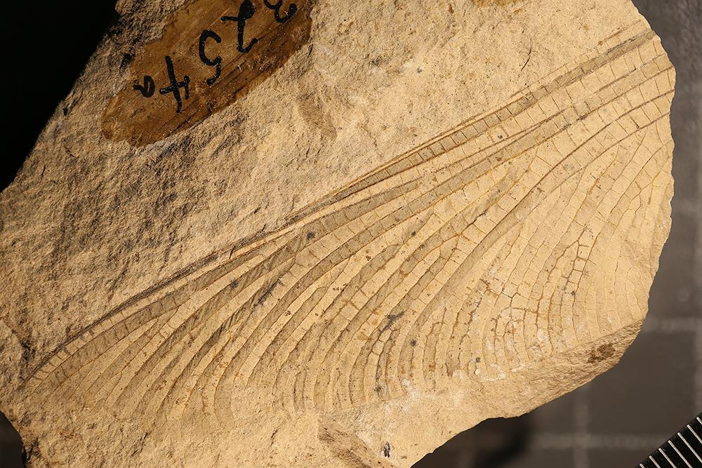 http://mczbase.mcz.harvard.edu/specimen_images/entomology/paleo/large/PALE-3254a_Megatypus_vetustus_holotype.jpg