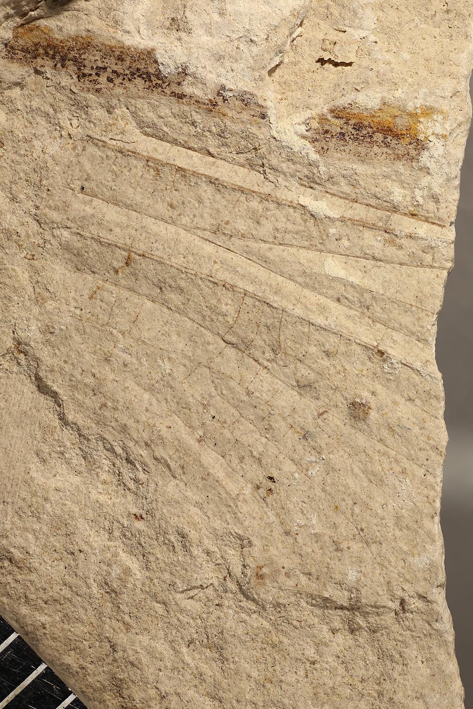http://mczbase.mcz.harvard.edu/specimen_images/entomology/paleo/large/PALE-3256a_Oligotypus_tillyardi_2.jpg