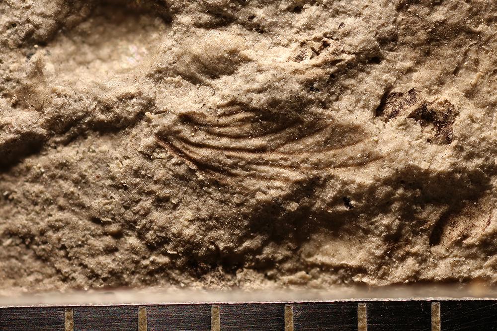 http://mczbase.mcz.harvard.edu/specimen_images/entomology/paleo/large/PALE-32649_Ephemeroptera_det_nwp_1.jpg