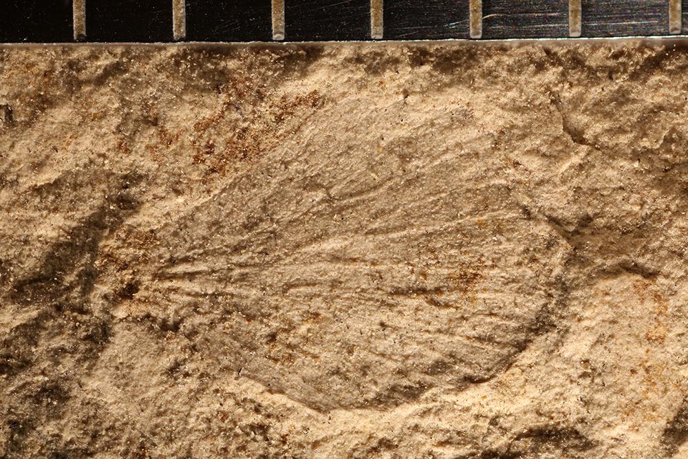 http://mczbase.mcz.harvard.edu/specimen_images/entomology/paleo/large/PALE-32694_Plantae_2.jpg