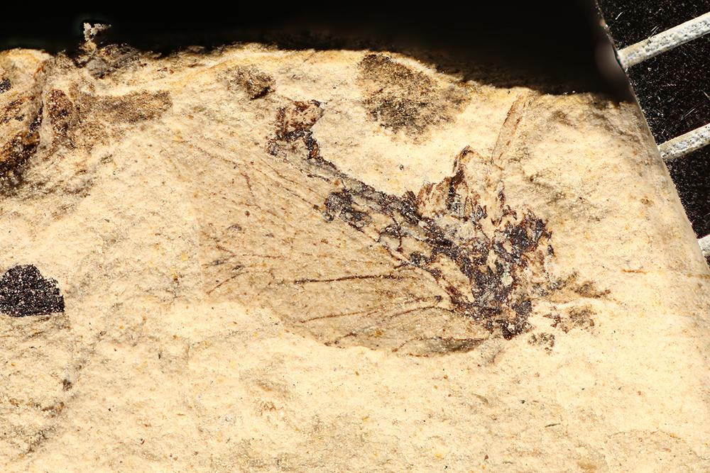 http://mczbase.mcz.harvard.edu/specimen_images/entomology/paleo/large/PALE-32697_Pterygota.jpg