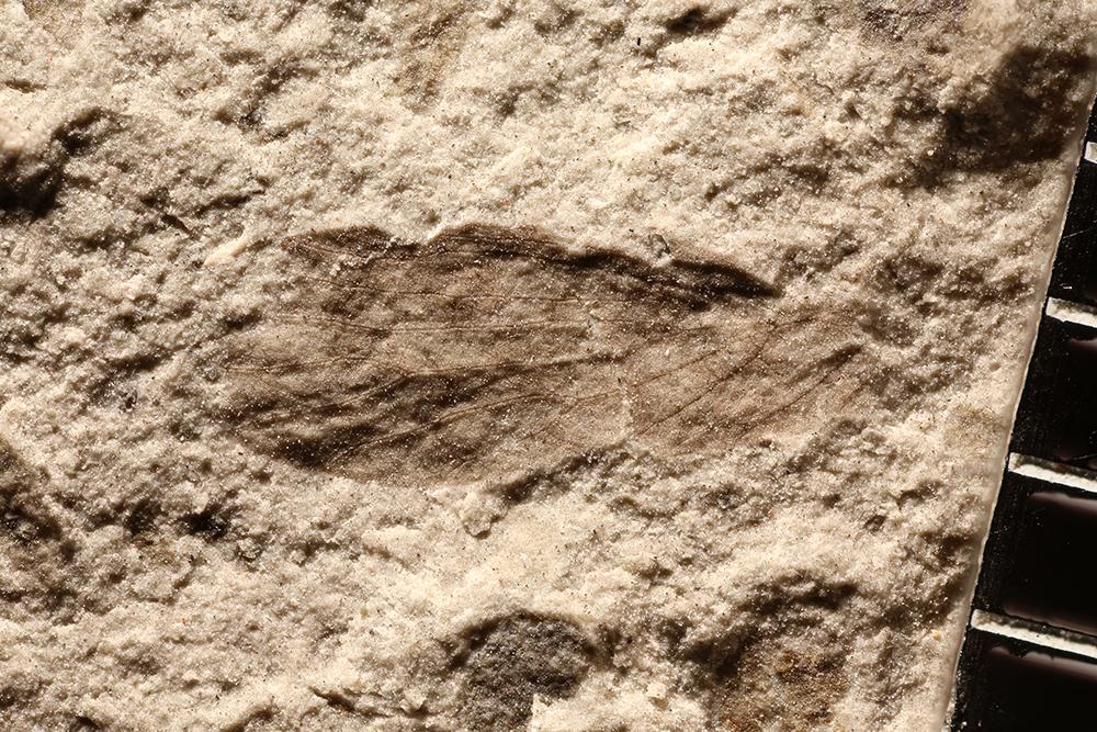 http://mczbase.mcz.harvard.edu/specimen_images/entomology/paleo/large/PALE-32730_Lemmatophoridae.jpg