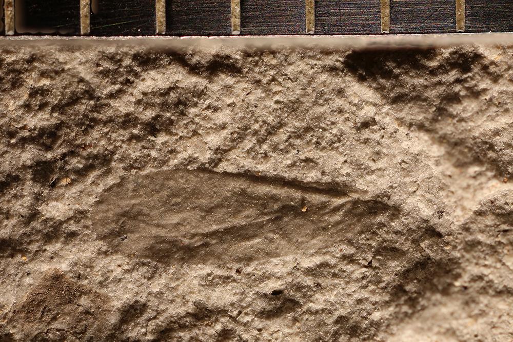 http://mczbase.mcz.harvard.edu/specimen_images/entomology/paleo/large/PALE-32737a_Miomoptera.jpg