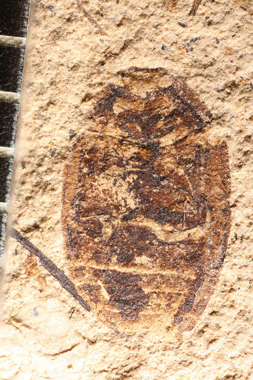 http://mczbase.mcz.harvard.edu/specimen_images/entomology/paleo/large/PALE-32740_Coccinella_obscura.jpg