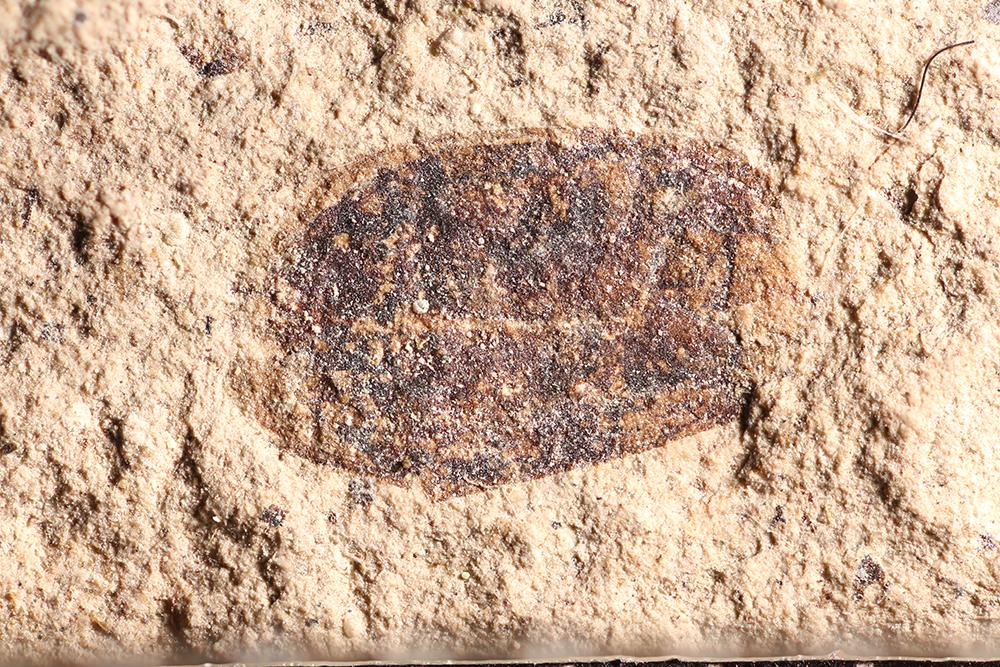 http://mczbase.mcz.harvard.edu/specimen_images/entomology/paleo/large/PALE-32747_Coleoptera.jpg