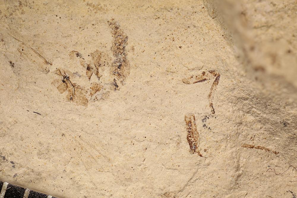 http://mczbase.mcz.harvard.edu/specimen_images/entomology/paleo/large/PALE-32773_Arthropoda.jpg