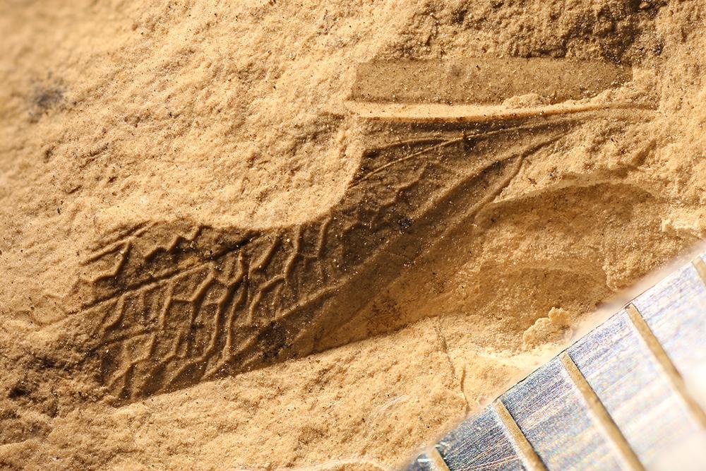 http://mczbase.mcz.harvard.edu/specimen_images/entomology/paleo/large/PALE-32788_Phenopterum_elongatum.jpg