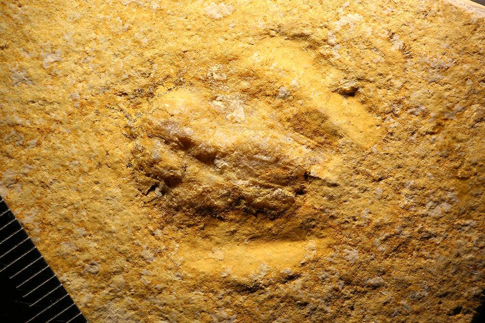 http://mczbase.mcz.harvard.edu/specimen_images/entomology/paleo/large/PALE-32793_Arthropoda_qm.jpg