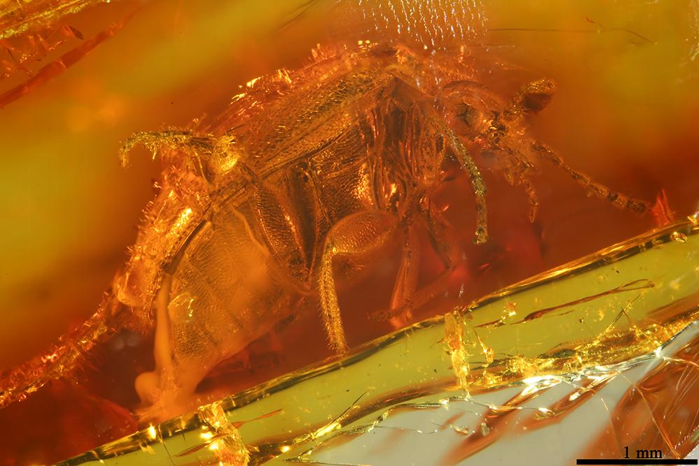 http://mczbase.mcz.harvard.edu/specimen_images/entomology/paleo/large/PALE-32797_Coleoptera.jpg