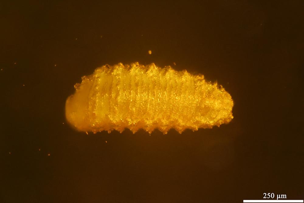 http://mczbase.mcz.harvard.edu/specimen_images/entomology/paleo/large/PALE-32798_Holometabola_det_larva.jpg