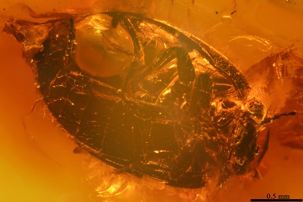 http://mczbase.mcz.harvard.edu/specimen_images/entomology/paleo/large/PALE-32799_Scirtidae_qm.jpg