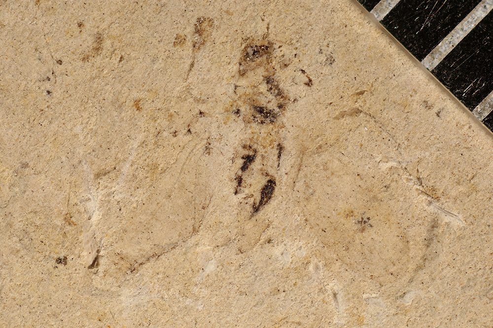 http://mczbase.mcz.harvard.edu/specimen_images/entomology/paleo/large/PALE-3294b_Permopsylla_americana.jpg
